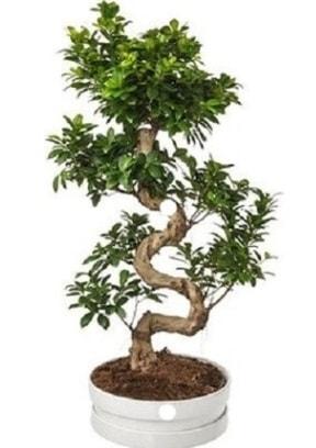 90 cm ile 100 cm civarı S peyzaj bonsai  İzmir Konak online çiçek gönderme sipariş