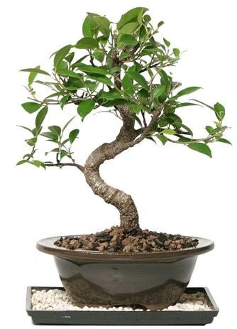Altın kalite Ficus S bonsai  İzmir Konak uluslararası çiçek gönderme  Süper Kalite