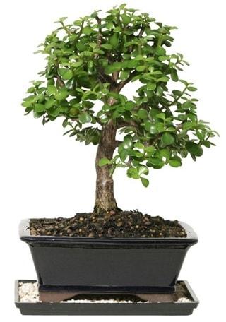15 cm civarı Zerkova bonsai bitkisi  İzmir Konak çiçek mağazası , çiçekçi adresleri