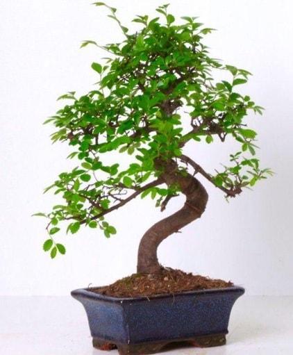 S gövdeli bonsai minyatür ağaç japon ağacı  İzmir Konak online çiçek gönderme sipariş