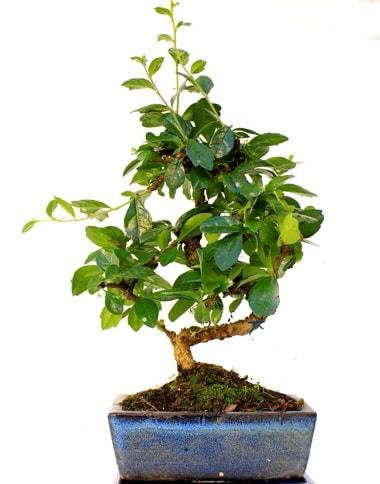 S gövdeli carmina bonsai ağacı  İzmir Konak cicek , cicekci  Minyatür ağaç