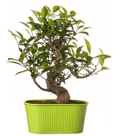 Ficus S gövdeli muhteşem bonsai  İzmir Konak çiçek mağazası , çiçekçi adresleri