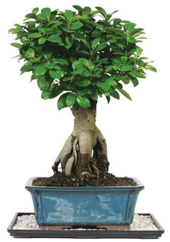 Bonsai Ginsing Grafted Ficus Bonsai  İzmir Konak cicek , cicekci