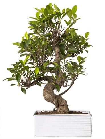 Exotic Green S Gövde 6 Year Ficus Bonsai  İzmir Konak online çiçek gönderme sipariş