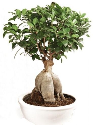 Ginseng bonsai japon ağacı ficus ginseng  İzmir Konak çiçek siparişi vermek